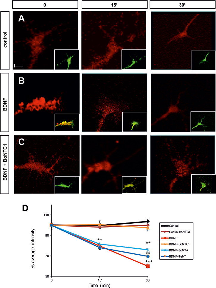 Fluorescence micrographs of the Nodose explant axonal growth cones.