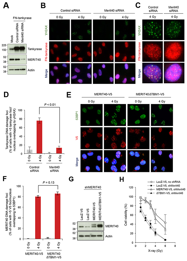 Disruption of MERIT40-mediated recruitment of tankyrase to DSBs decreases the viability of X-ray-irradiated A549 cells.