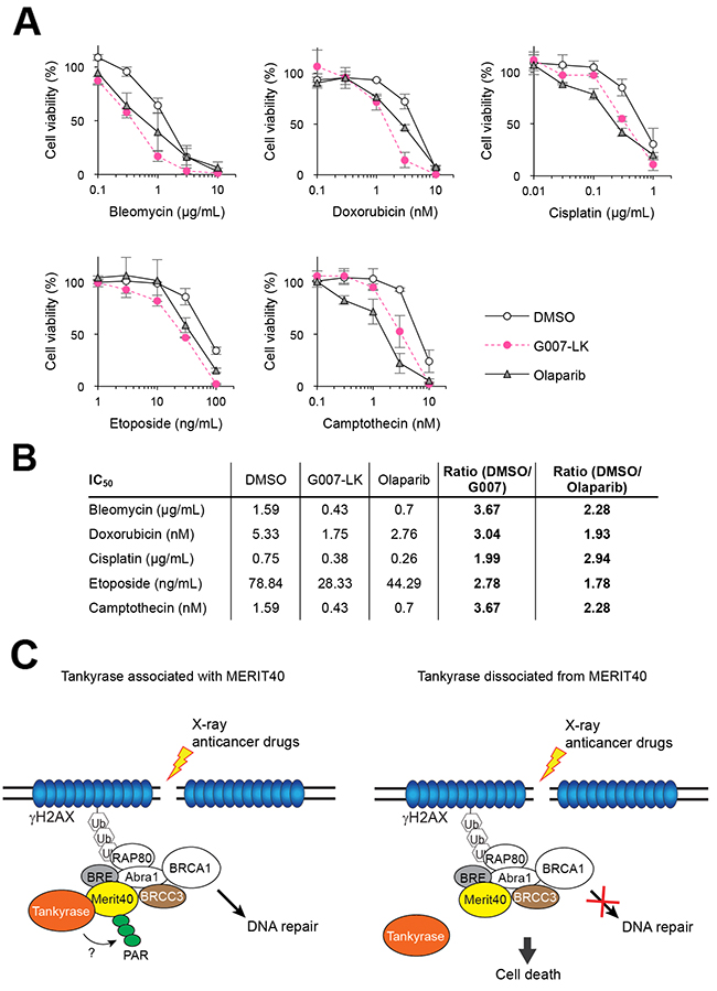 Tankyrase inhibitor enhances the growth inhibitory effects of DNA-damaging anticancer drugs.