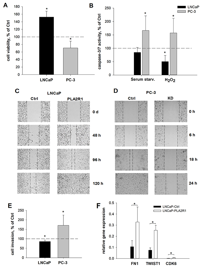 Cell viability, apoptosis, wound healing, invasion, and relative gene expression were assessed in PLA2R1-transfected LNCaP cells (LNCaP-PLA2R1) and PLA2R1-knockdown PC-3 cells (PC-3 KD) compared to control vector-transfected cells (Ctrl).