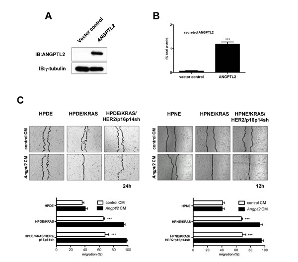Exogenous ANGPTL2 induces EMT features in HPDE and HPNE cell lines based on LILRB2 expression.