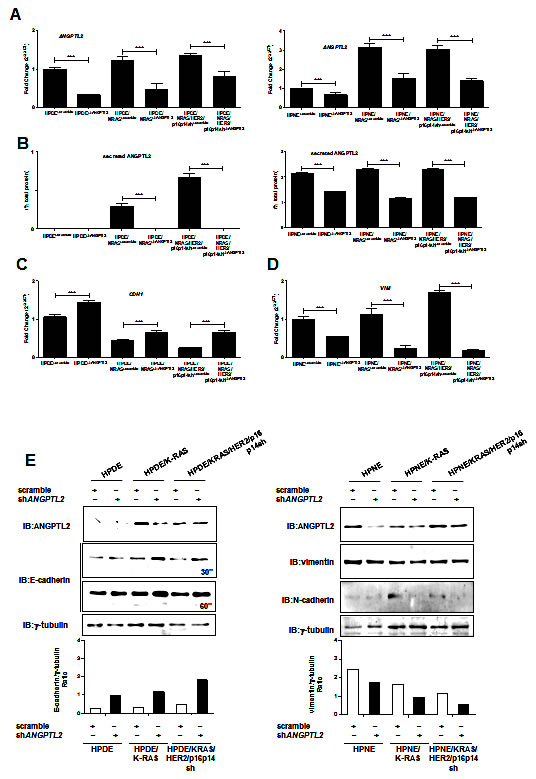 Silencing the expression of ANGPTL2 reverts EMT in HPDE and HPNE /KRAS, /KRAS/HER2/p16p14shRNA expressing cell lines.