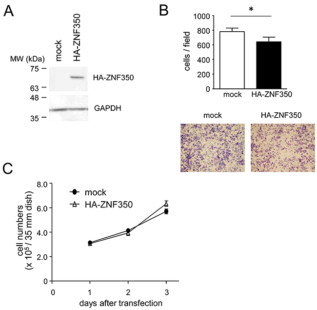 Loss of migratory capacity in ZNF350-overexpressing MG cells.