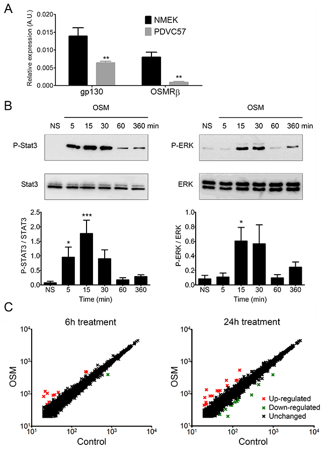 PDVC57 cells express functional OSMR type II involved in ERK1/2 and STAT3 signaling and modulation of gene expression.