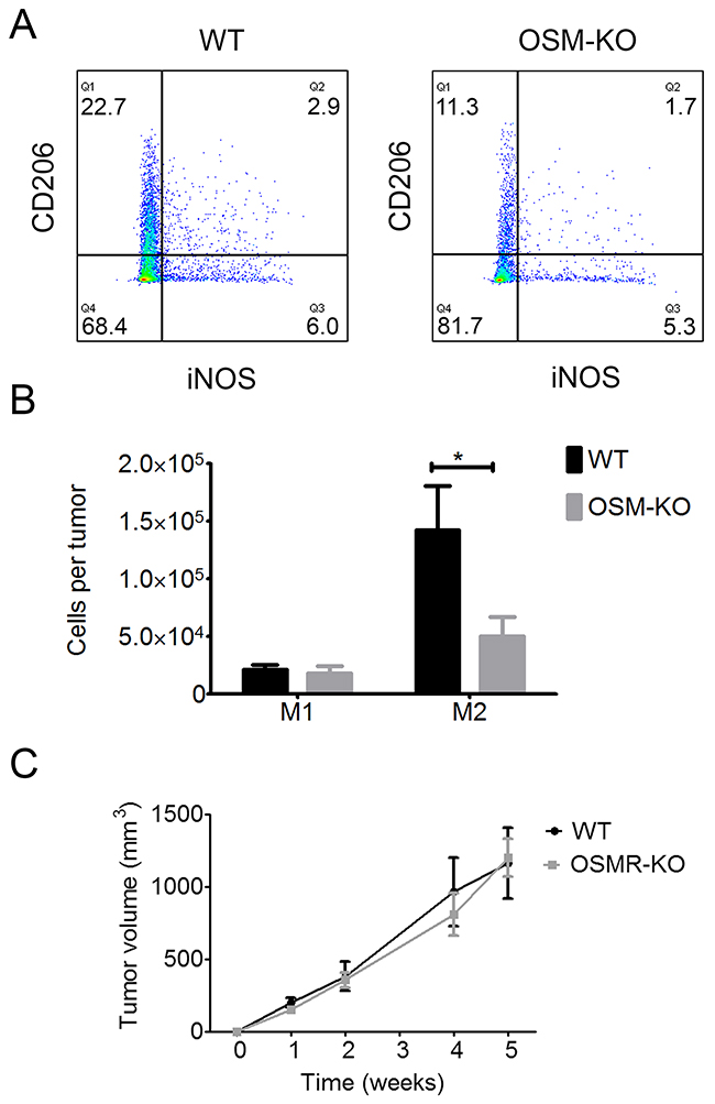 M2 macrophage polarization is reduced in SCC from OSM-KO mice and cSCC development is similar in WT and OSMR-KO mice.