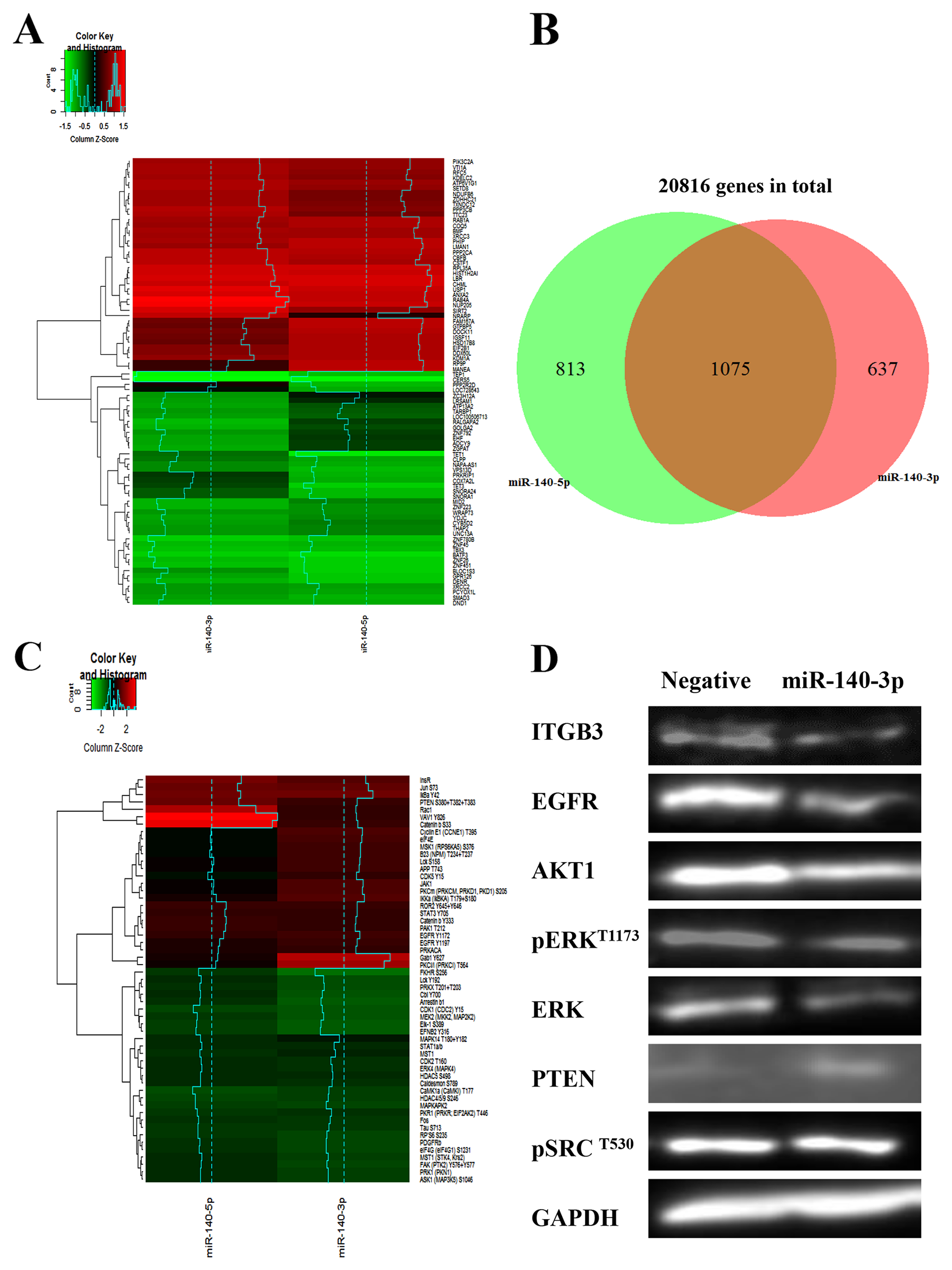 Distinctive gene regulation profiles and cell signalling pathways induced by two strands of miR-140.