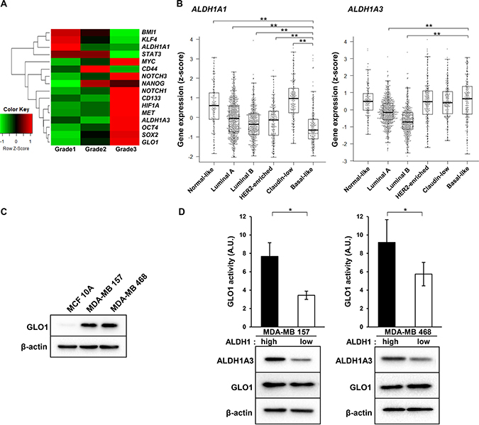 GLO1 activity is enhanced in ALDH1high cells isolated from basal-like breast cancer cell lines.
