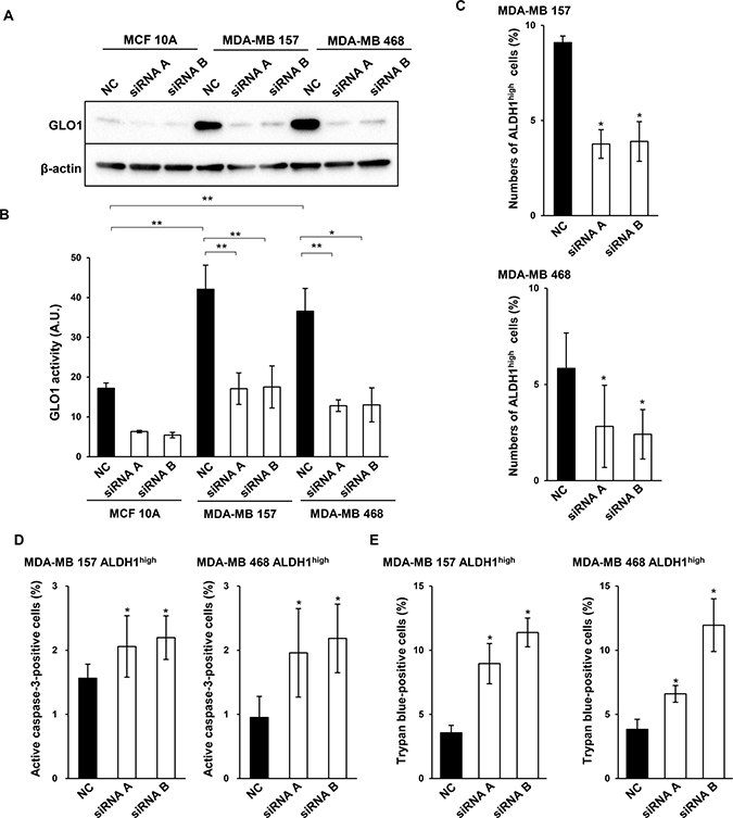 GLO1 knockdown reduces ALDH1high cell numbers and induces apoptosis.