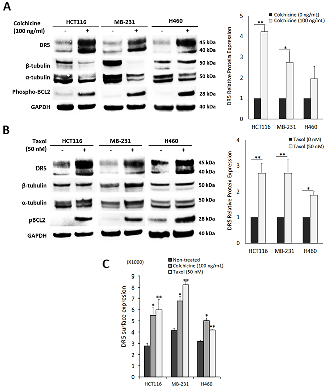 Pharmacological disruption of tubulin increases DR5 expression.