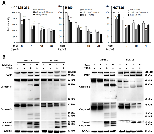 Pharmacological inhibition of tubulin enhances TRAIL-induced apoptosis.