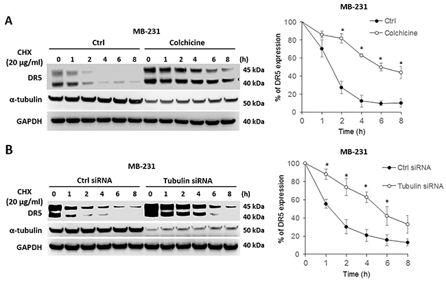 Blockade of tubulin stabilizes DR5 protein.