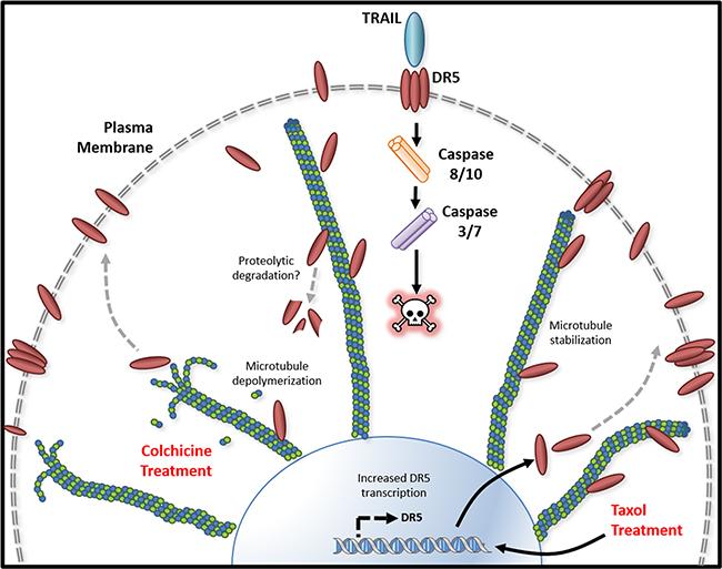 Tubulin/microtubule regulation of DR5 mediated apoptosis.