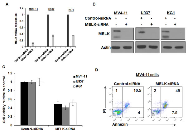 MELK knock-down decreased cell viability and induced apoptosis in AML cell lines.