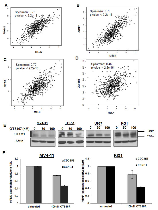 Downregulation of FOXM1 expression and activity through MELK inhibition.