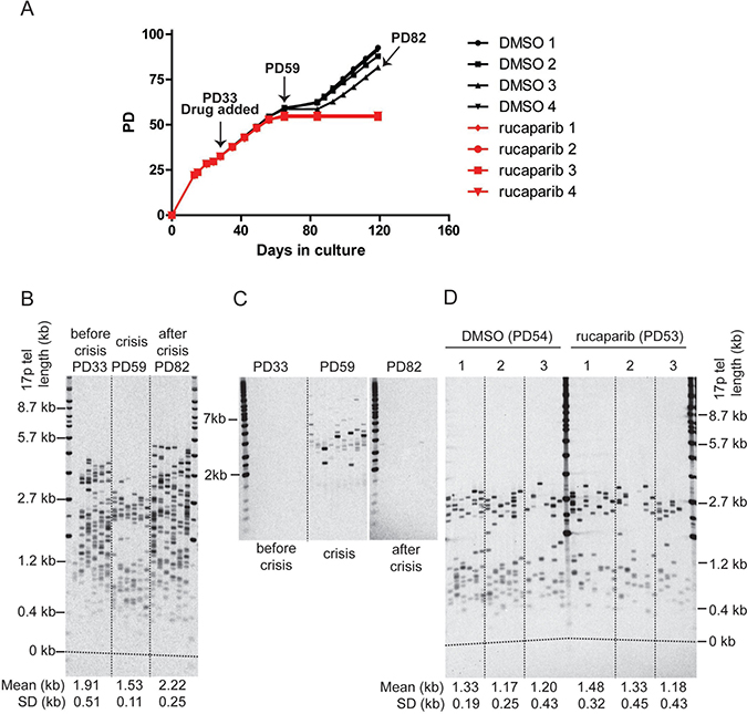 PARPi do not affect telomere erosion in HCT116 DN-hTERT cells during telomere crisis.