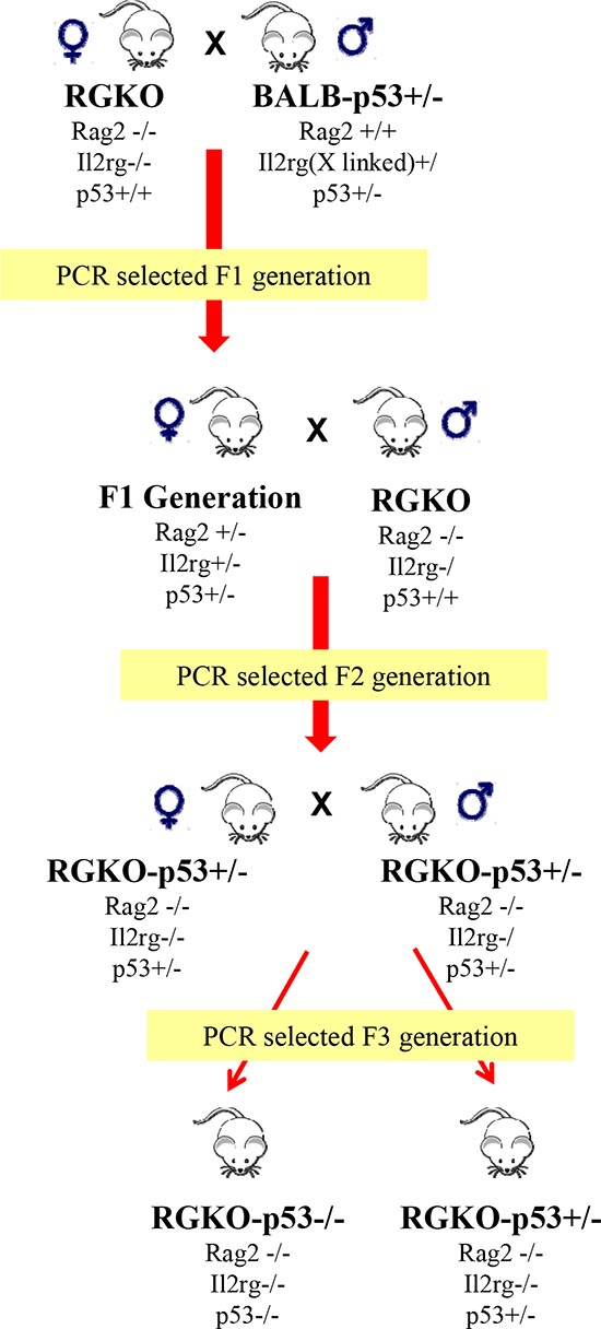 Obtainment of alymphocytic p53 knockout mice.