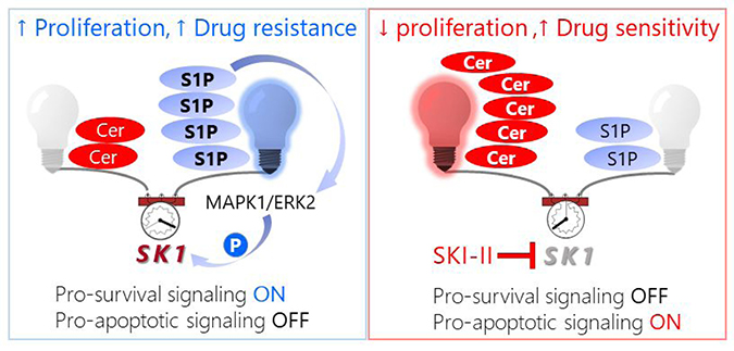 Schematic model of pro-survival S1P signaling in pancreatic cancer cells (left) followed by a shift in the sphingolipid rheostat toward C16 Cer-driven pro-apoptotic signaling induced by SKI-II treatment (right).