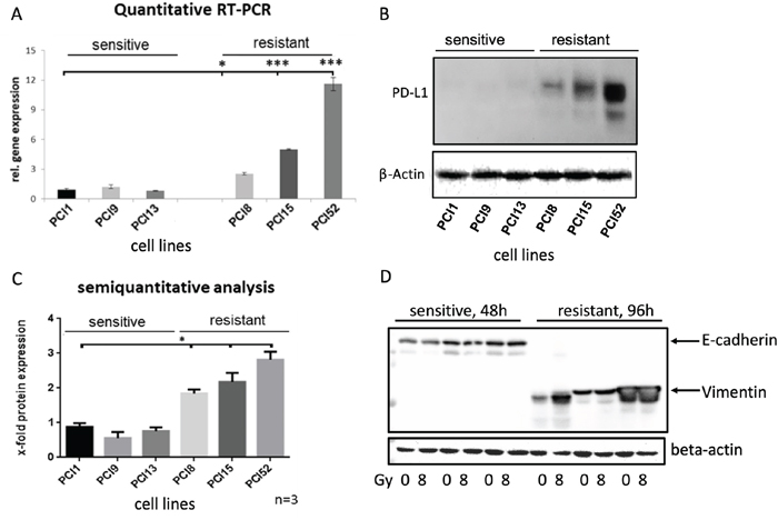 Differential PD-L1 protein expression in HNSCC cell lines with different radiosensitivity.