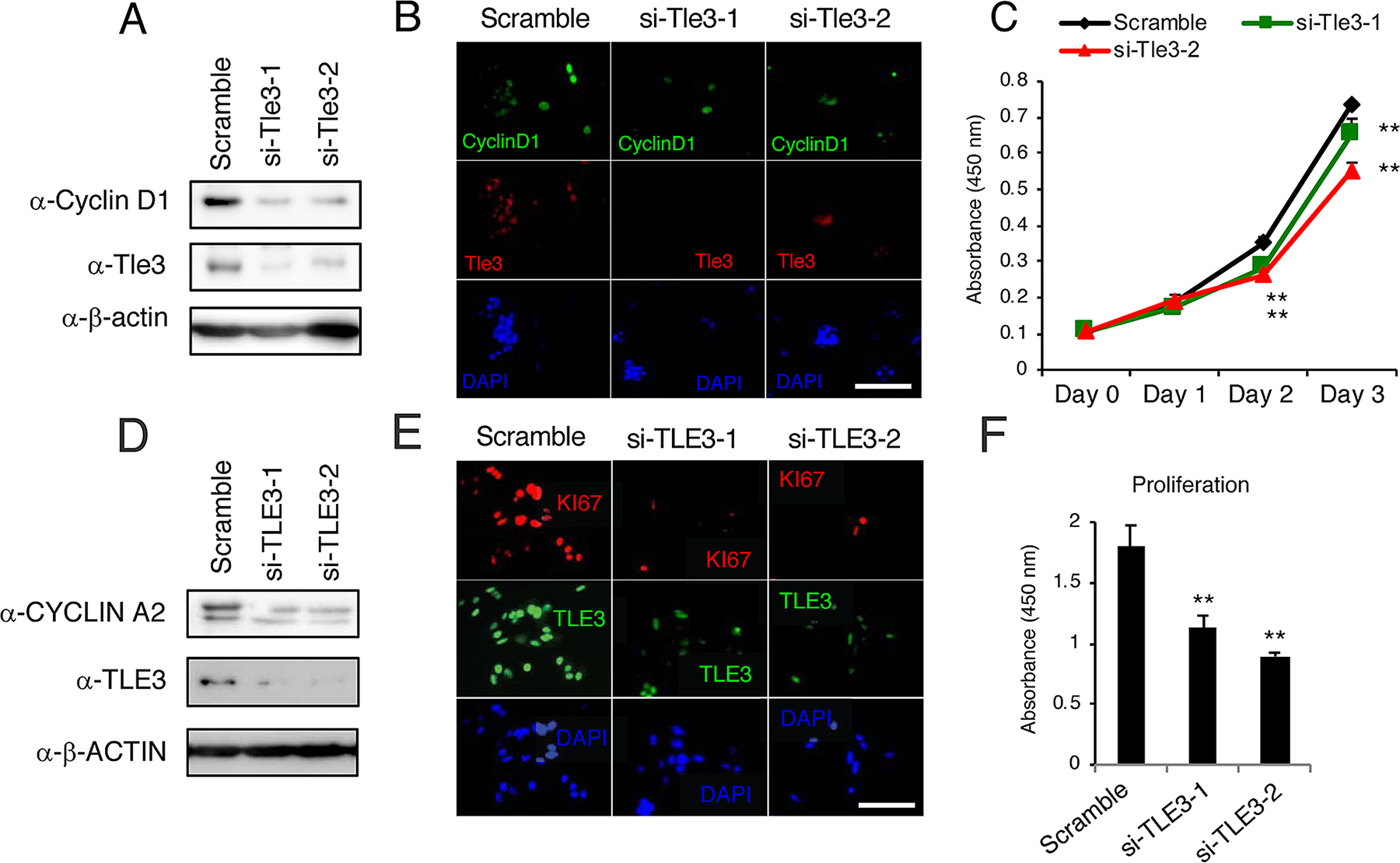 Knockdown of Tle3 (TLE3) in melanoma cells decreases proliferation.