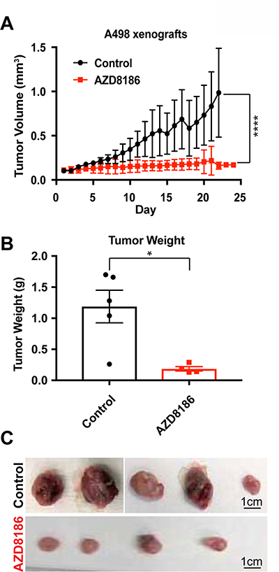 PI3Kβ-specific inhibitor AZD8186 hinders SETD2-deficient tumors in vivo.