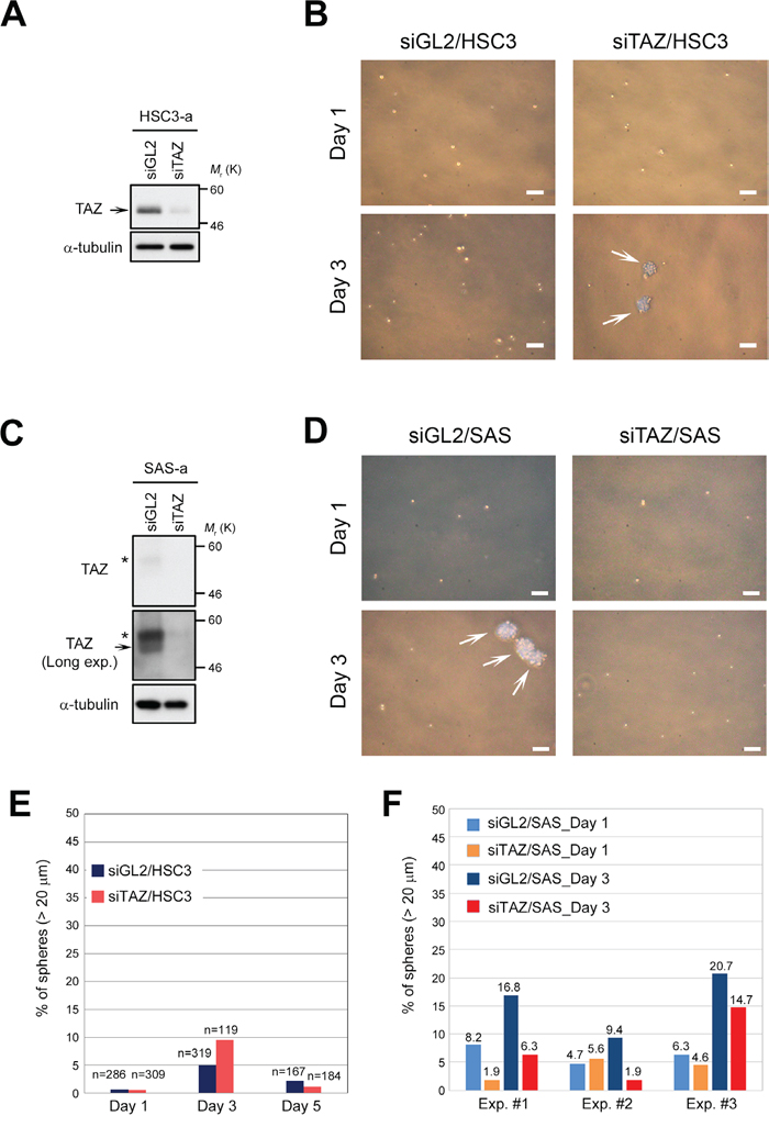 Downregulation of TAZ is insufficient to promote sphere formation in HSC3 cells.