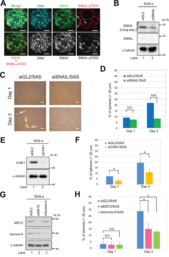 Deficiency of LATS2 axis–related proteins prevents sphere formation by SAS cells.