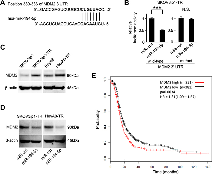 MDM2 is a direct target gene of miR-194-5p and is upregulated in paclitaxel-resistant cells.