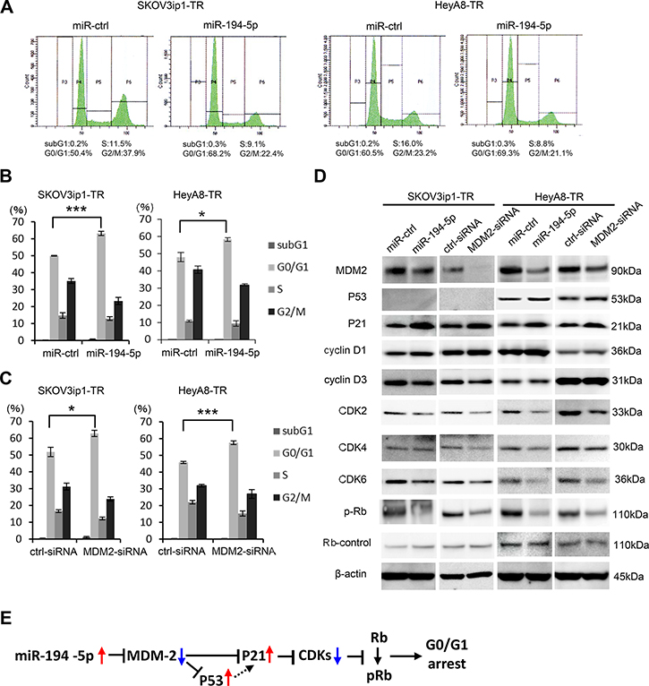 miR-194-5p and its target MDM2 induce G0/G1 cell cycle arrest.