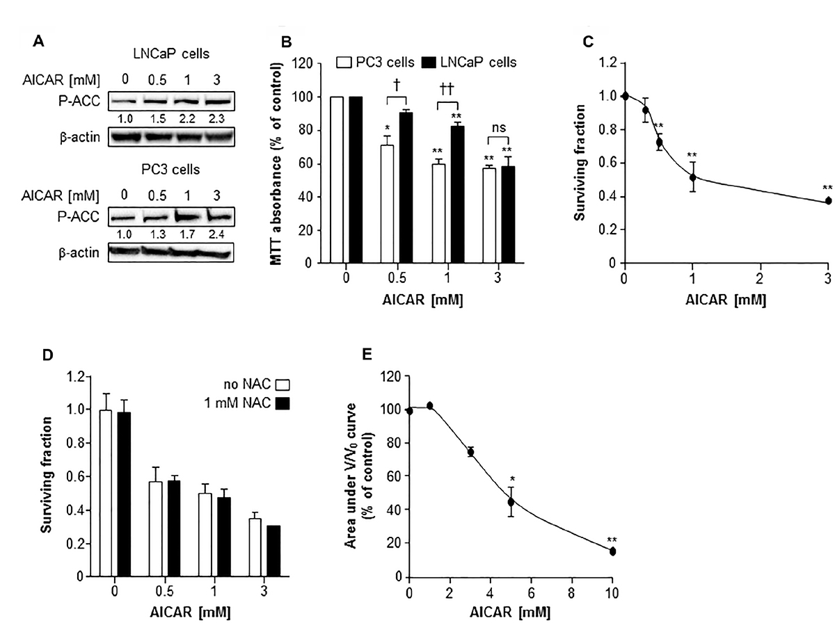 The cytotoxic effect of AICAR as a single agent on LNCaP and PC3 cells.