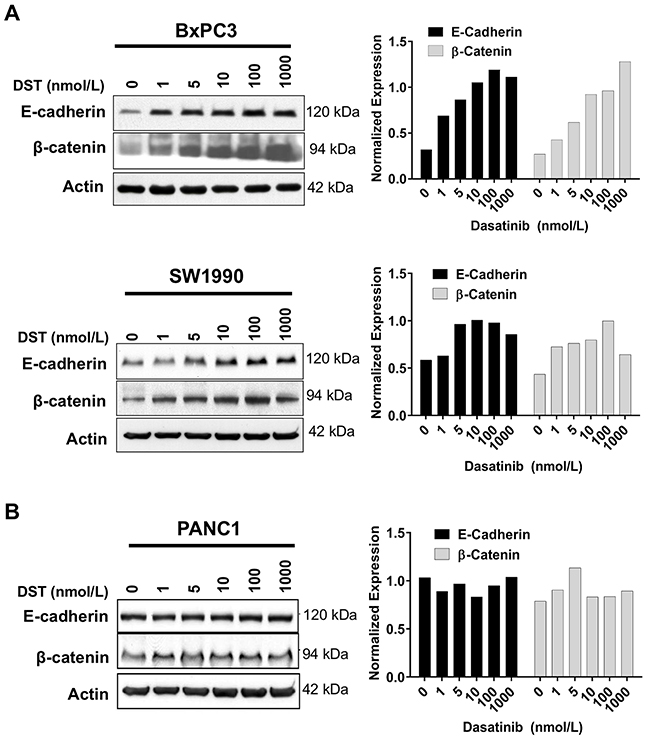 Src kinase inhibition increases E-cadherin and β-catenin protein levels in drug-sensitive PDAC cells.