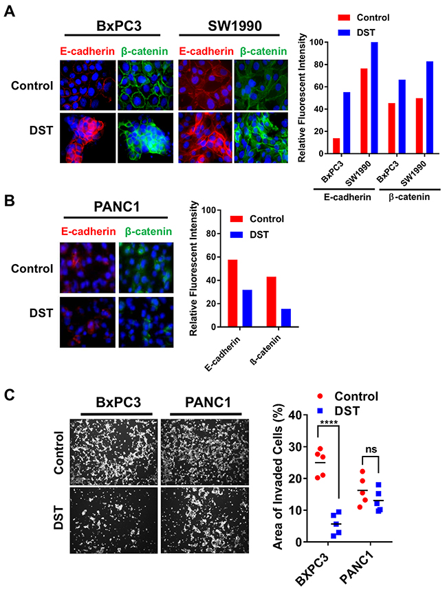 Src kinase inhibition restores membranous expression of E-cadherin and β-catenin and decreases cellular invasion in drug-sensitive PDAC cells.