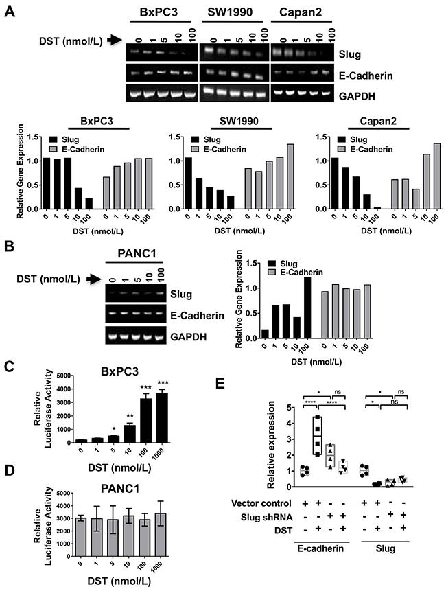Src kinase regulates E-cadherin expression through the transcription factor Slug.