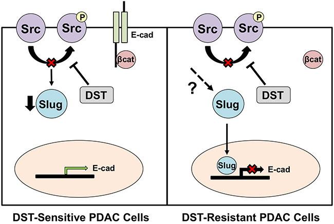 Proposed mechanism of action for DST in drug-sensitive and resistant PDAC cell lines.