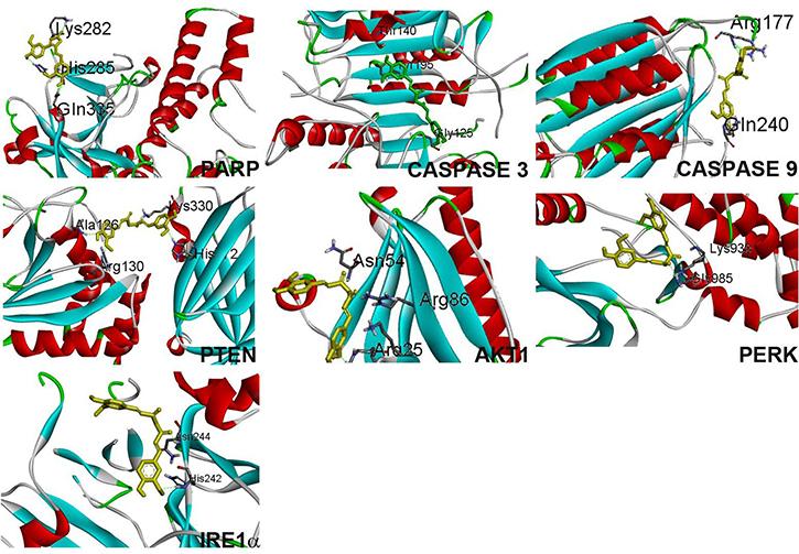 Curcumin binding confirmation with proteins PARP, caspase 3, caspase 9, PTEN, Akt1, PERK, IRE1α.
