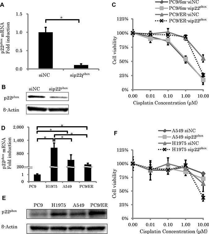 The effect of p22phox knockdown on sensitivity to cisplatin-induced cytotoxicity.