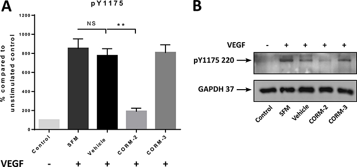 pY1175 levels after CORM treatments.