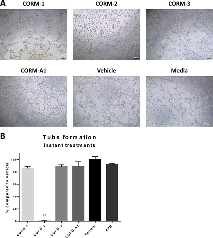Tube formation ability of HECV after CORM treatments.