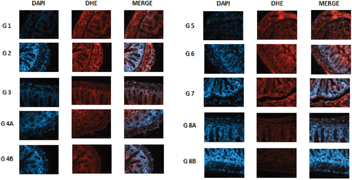 DHE staining in non–diabetic animals, groups 1, 2, 3, 4A and 4B, as well as in diabetic animals (groups 5, 6, 7, 8A and 8B) showing the difference in stain intensity when comparing the non-treated group 1 and 5 to the treated groups.