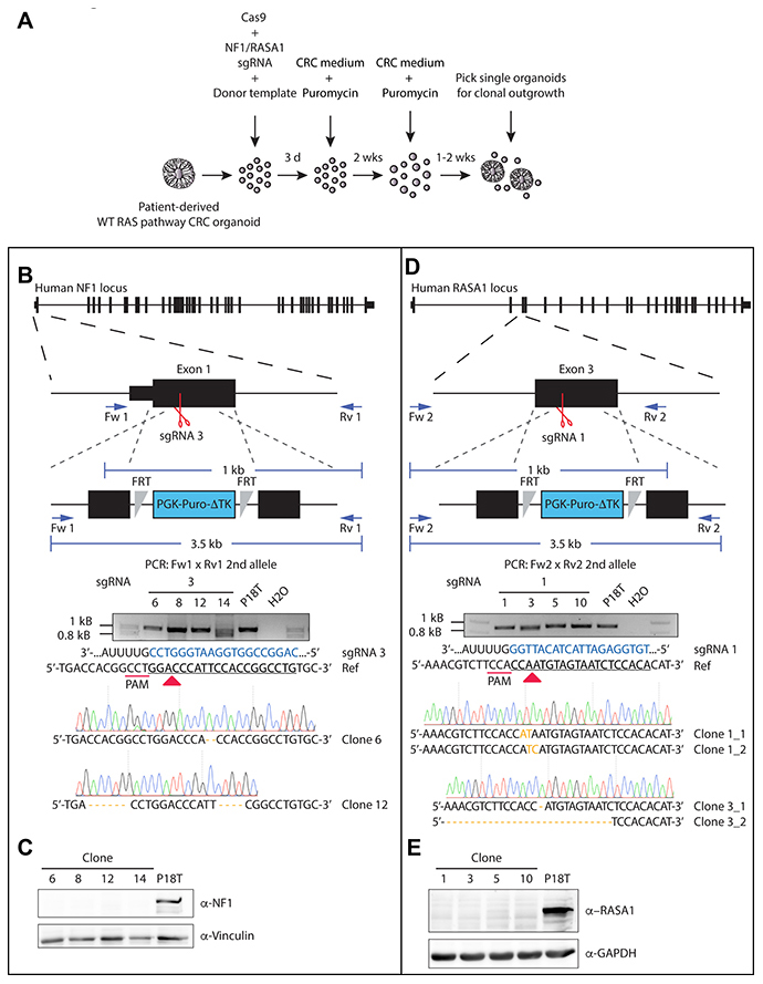 Generation of CRISPR-mediated NF1 and RASA1 knock out in patient-derived CRC organoids.