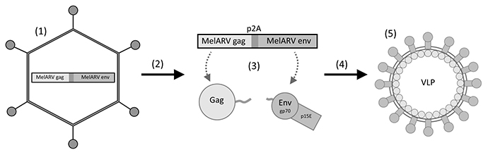 Rationale of the vaccine virus Ad5-MelARV.