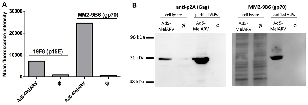 Assembly and release of VLPs by Ad5-MelARV transduced cells.