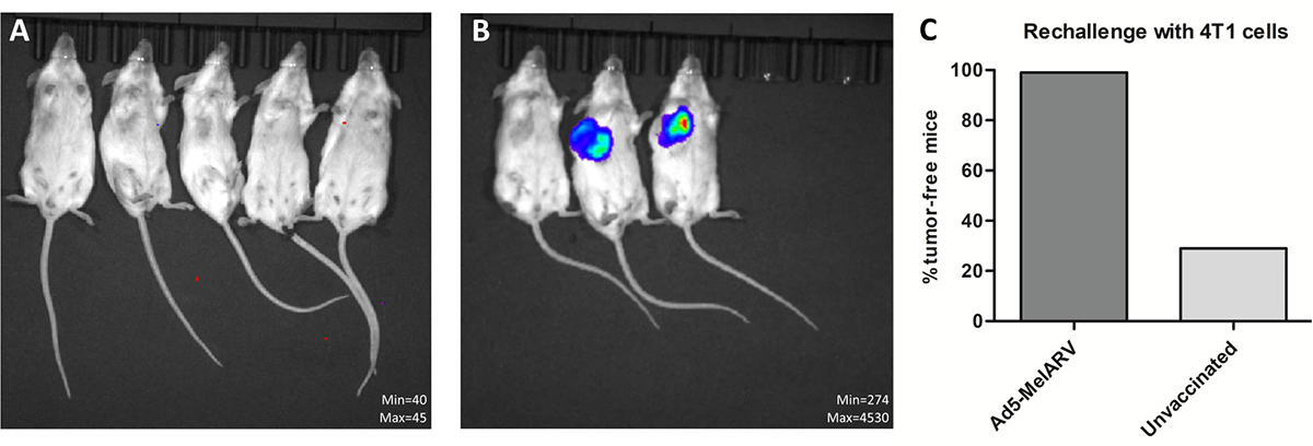 Rechallenge of vaccinated mice with 4T1 tumor cells.