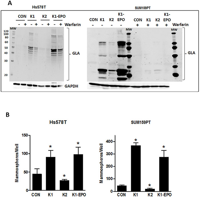 Effects of vitamins K2, K1-EPO, and VKOR inhibitor on GLA protein expression and mammosphere formation in TNBC cells.