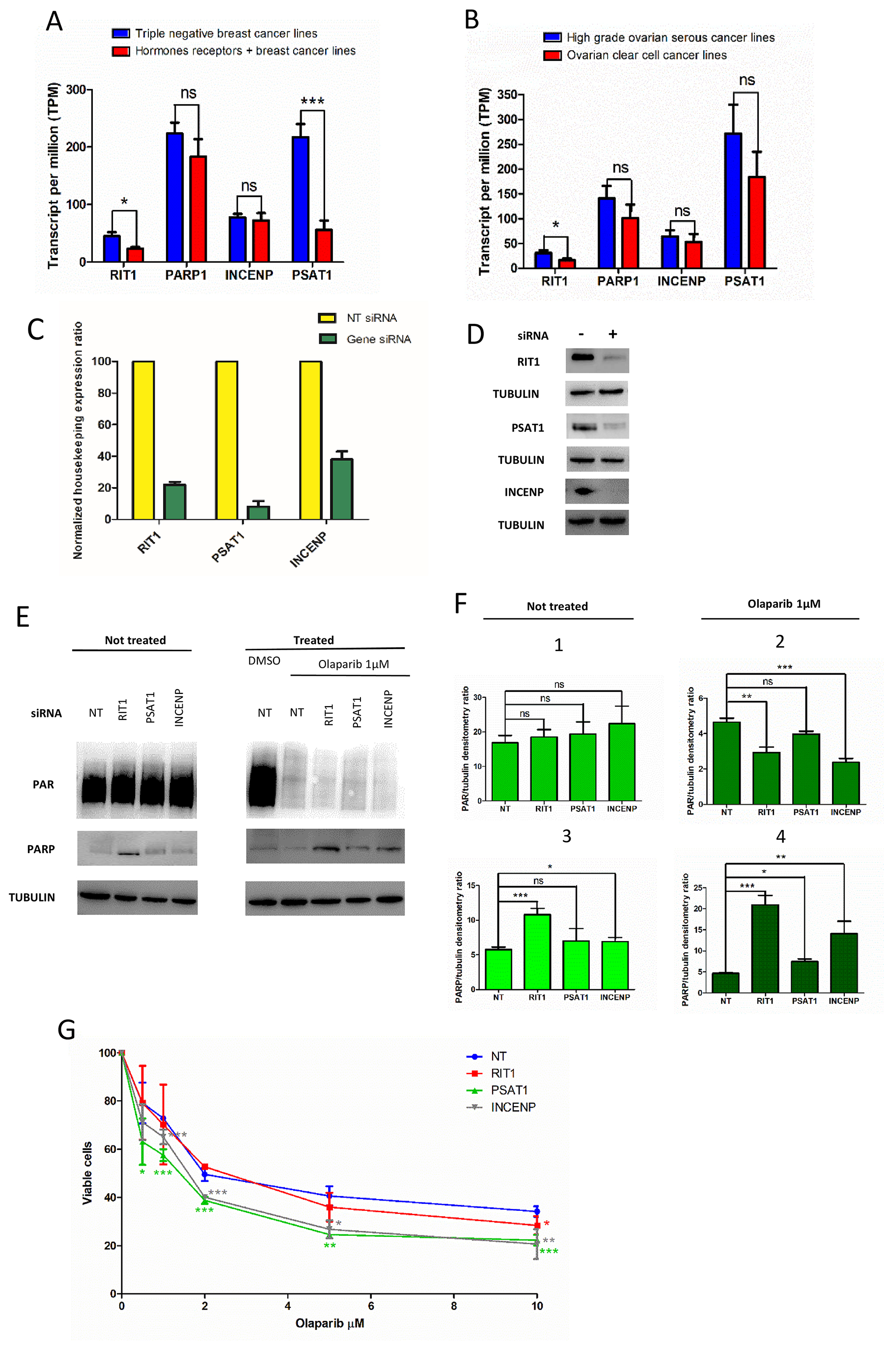 Effect of RIT1, INCENP and PSAT1 on PARylation and PARP1 protein level, and olaparip sensitivity.