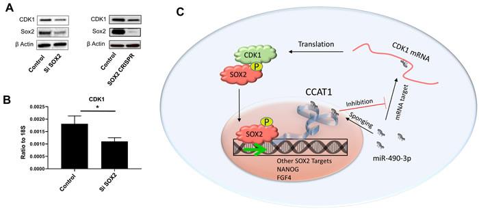 SOX2 regulates CDK1 through a feed-forward loop.