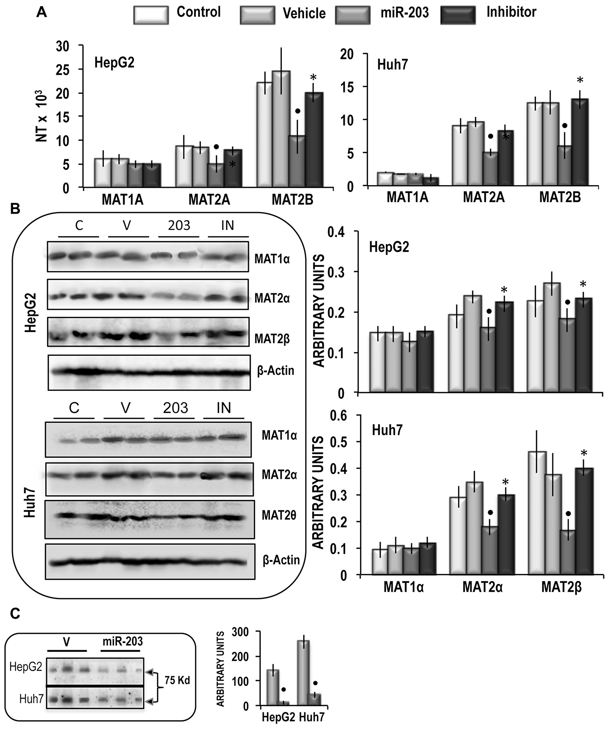 Analysis of the effects of the forced expression of miR-203 on MATs mRNA and protein expression, MATαβ2 complex, and SAM content in HepG2 and Huh7 cells.