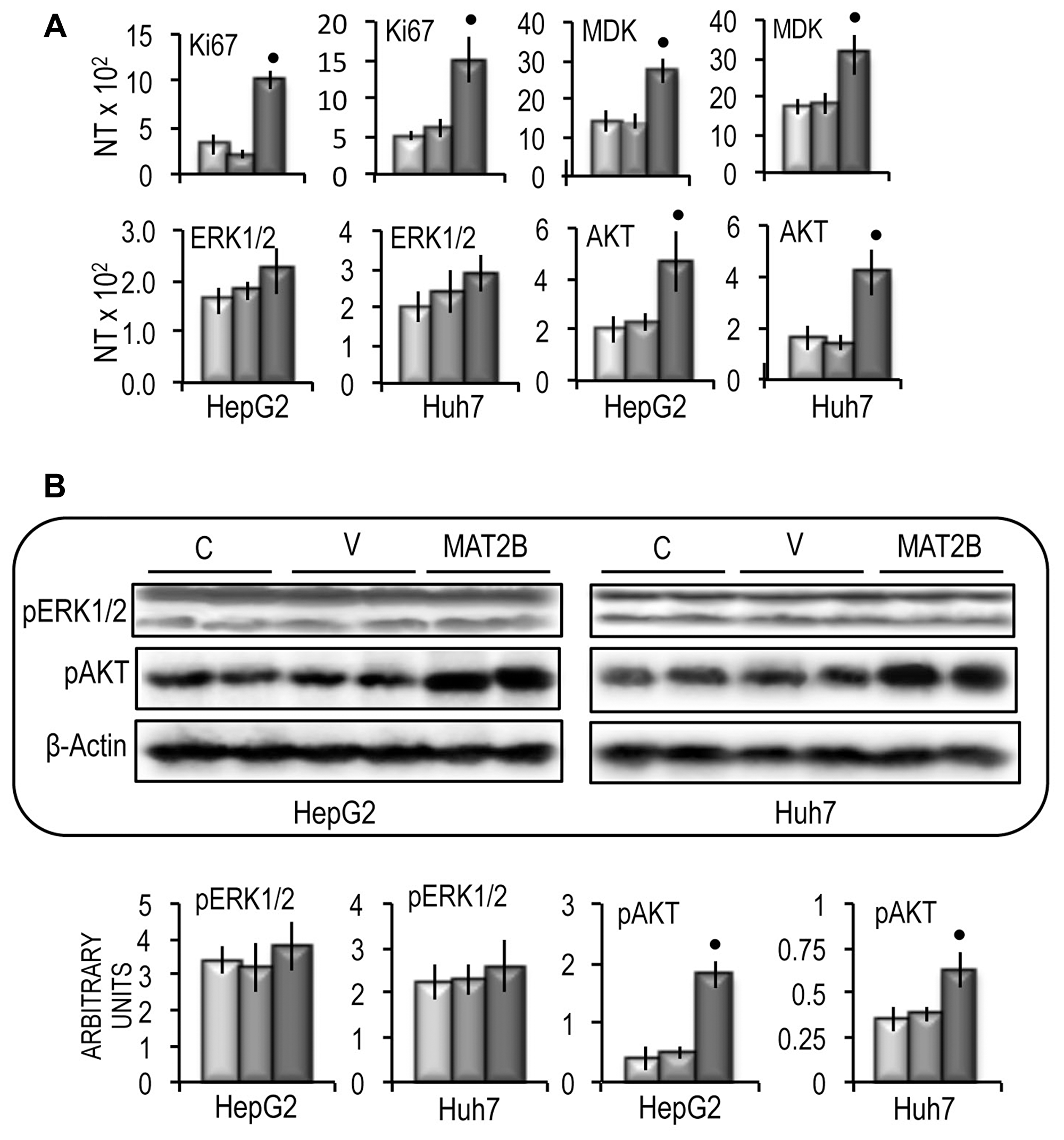 Effect of MAT2B forced expression on Ki67, MDK, ERK1/2 and AKT expression in HepG2 and Huh7 cells.