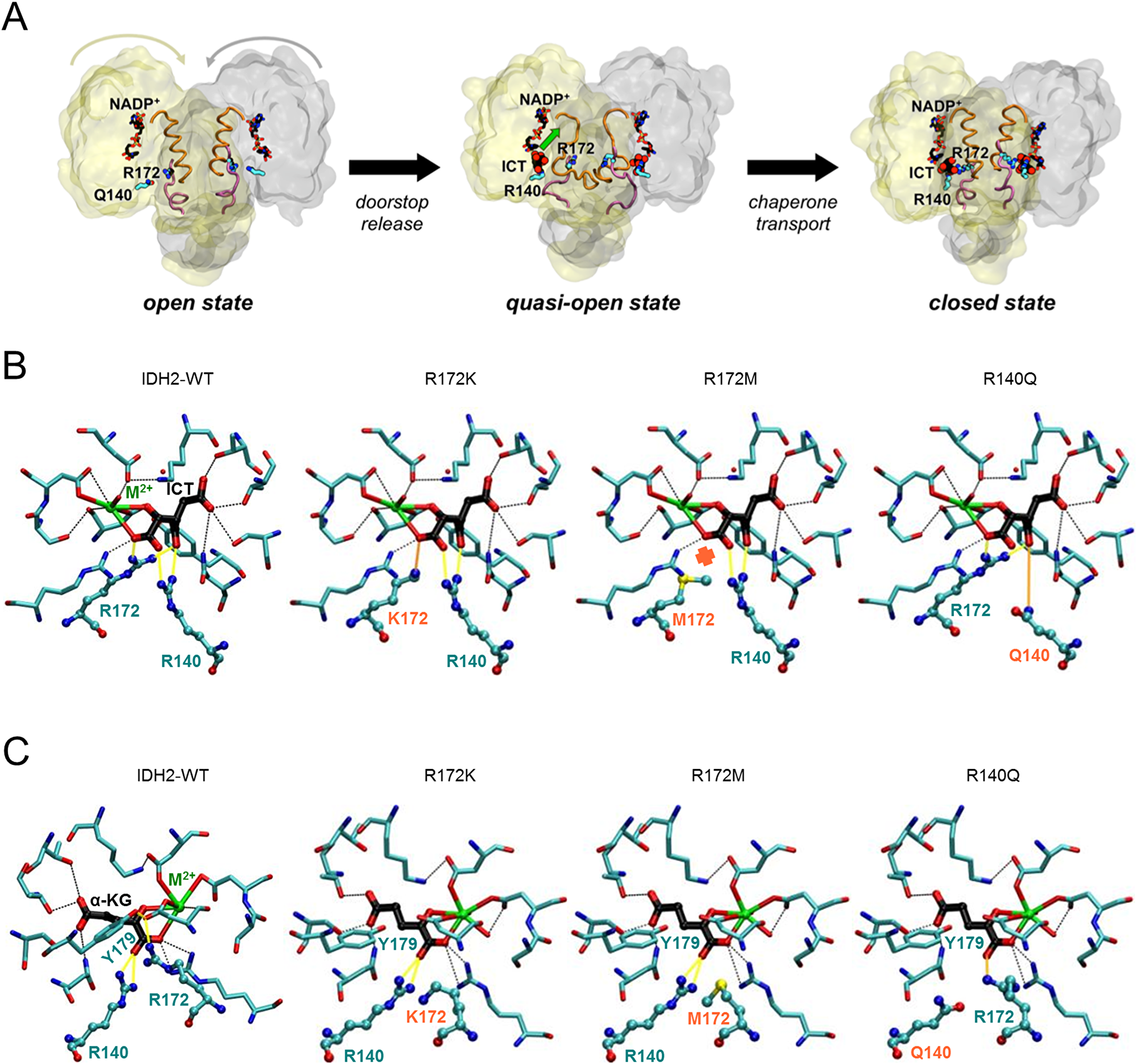 IDH2 mutations at R172 and R140 differentially alter the IDH2 catalytic site structure.