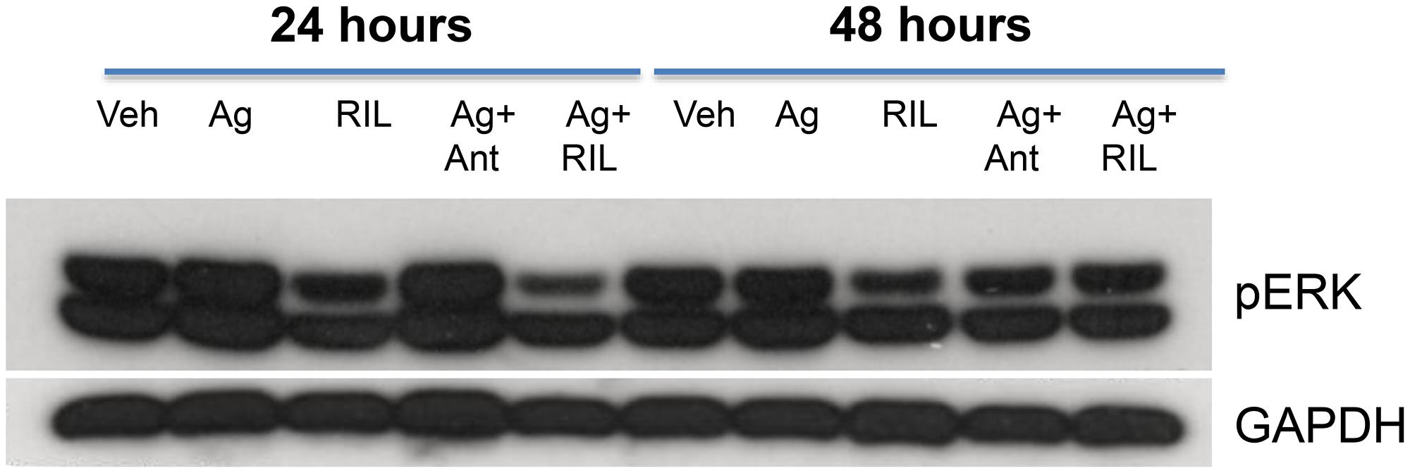 GRM3 in U87 cells is functional.