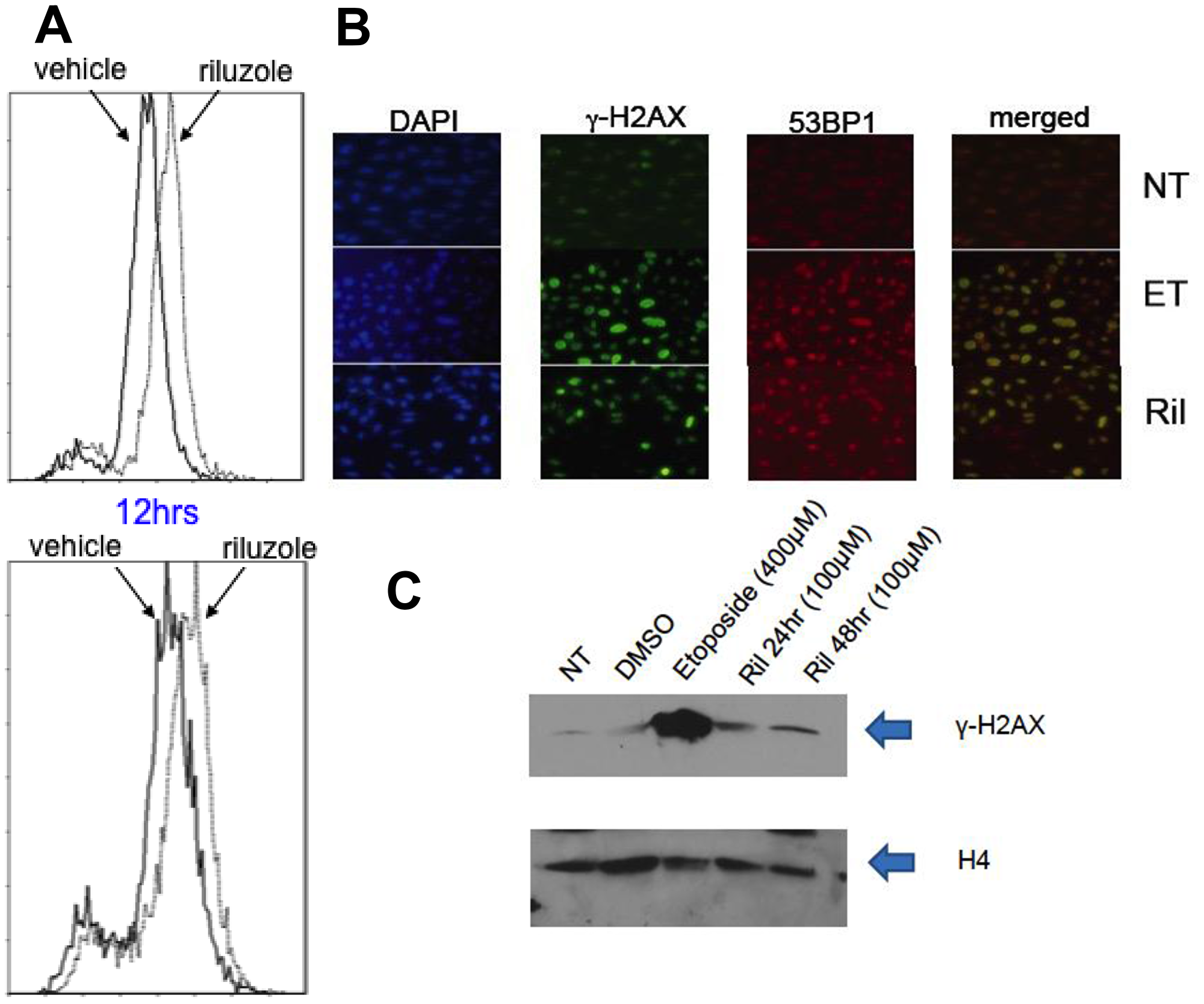 ROS mediated DNA damage in glioma cells treated with RIL.